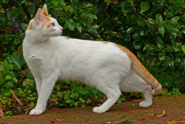 Gambar Jenis Jenis Kucing Dan Harganya Arabian Mau