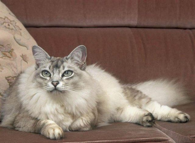 Gambar Jenis Jenis Kucing Dan Harganya Asian Semi-longhair