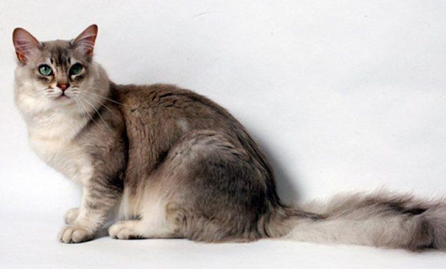 Gambar Jenis Jenis Kucing Dan Harganya Asian cat
