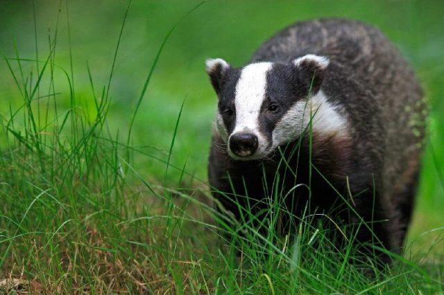 Gambar Nama Nama Hewan Dalam Bahasa Inggris Dan Gambarnya Badger
