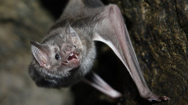 Gambar Nama Nama Hewan Dalam Bahasa Inggris Dan Gambarnya Bat