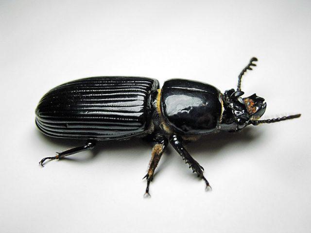 Gambar Nama Nama Hewan Dalam Bahasa Inggris Dan Gambarnya Beetle