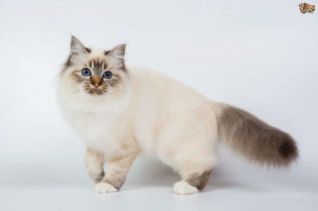 Gambar Jenis Jenis Kucing Dan Harganya Birman
