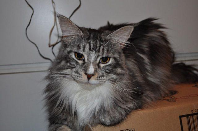 Gambar Jenis Jenis Kucing Dan Harganya Bramble cat