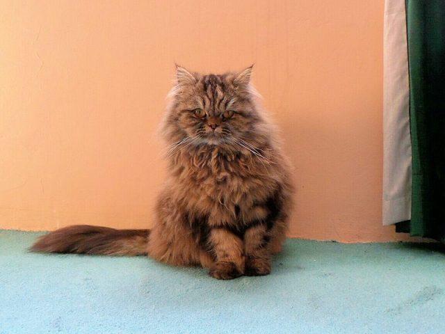 Gambar Jenis Jenis Kucing Dan Harganya British Semi-longhair