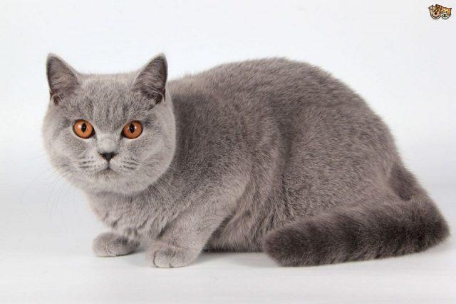 Gambar Jenis Jenis Kucing Dan Harganya British Shorthair