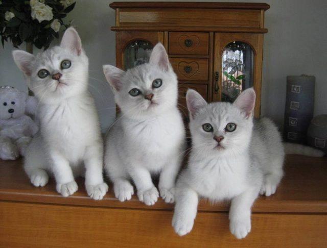 Gambar Jenis Jenis Kucing Dan Harganya Burmilla