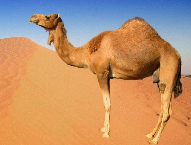 Gambar Nama Nama Hewan Dalam Bahasa Inggris Dan Gambarnya Camel