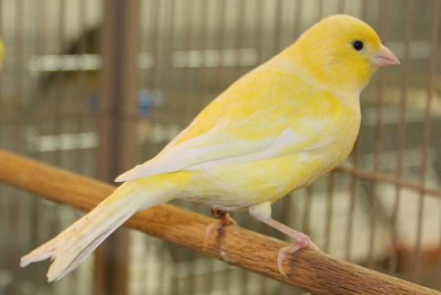 Gambar Nama Nama Hewan Dalam Bahasa Inggris Dan Gambarnya Canary