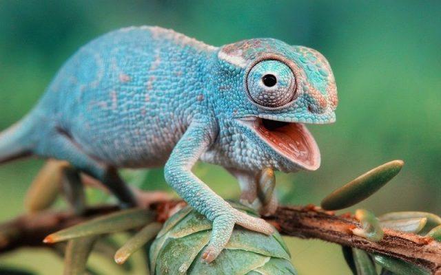 Gambar Nama Nama Hewan Dalam Bahasa Inggris Dan Gambarnya Chameleon