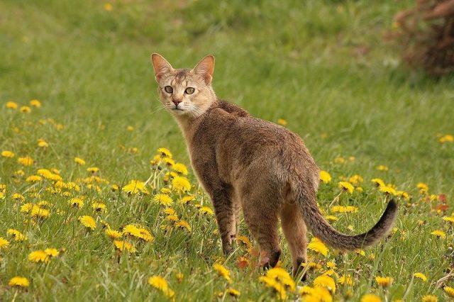 Gambar Jenis Jenis Kucing Dan Harganya Chausie