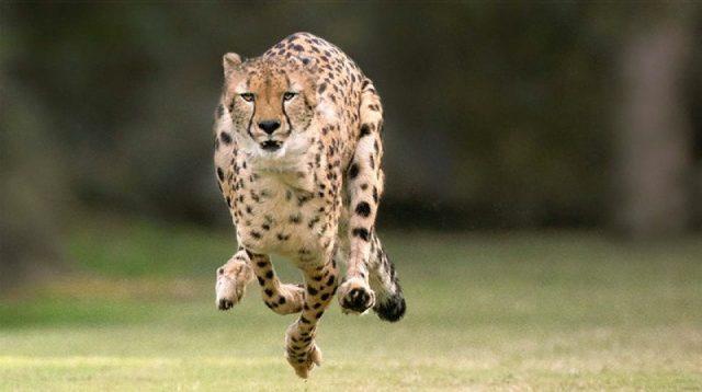 Gambar Nama Nama Hewan Dalam Bahasa Inggris Dan Gambarnya Cheetah