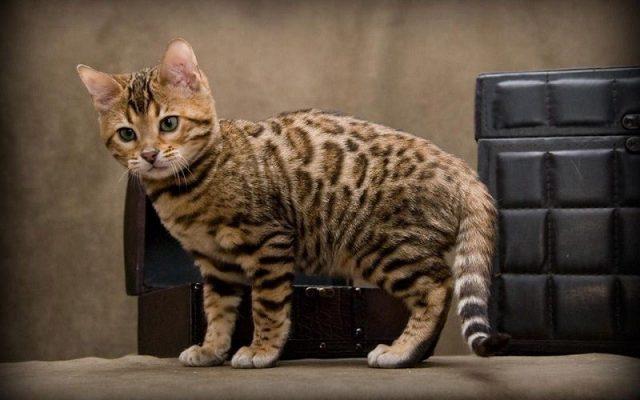 Gambar Jenis Jenis Kucing Dan Harganya Cheetoh
