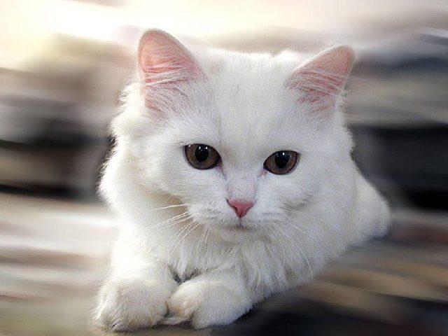 Gambar Jenis Jenis Kucing Dan Harganya Chinese White