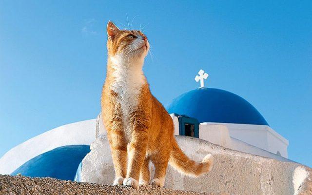 Gambar Ciri Ciri Kucing Aegean