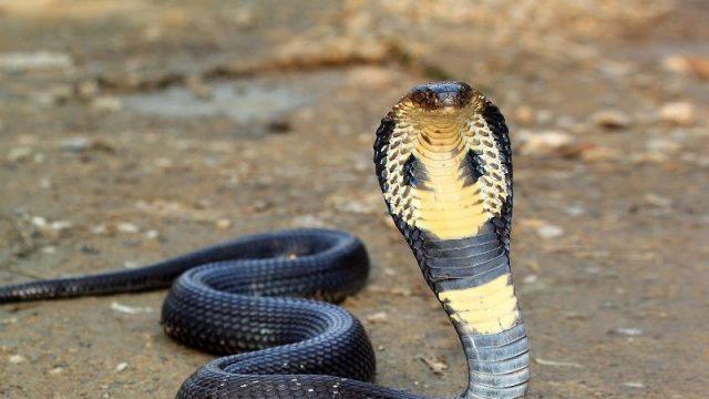 Gambar Nama Nama Hewan Dalam Bahasa Inggris Dan Gambarnya Cobra
