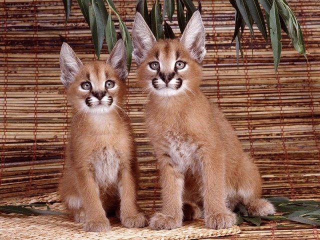 Gambar Jenis Jenis Kucing Dan Harganya Desert Lynx