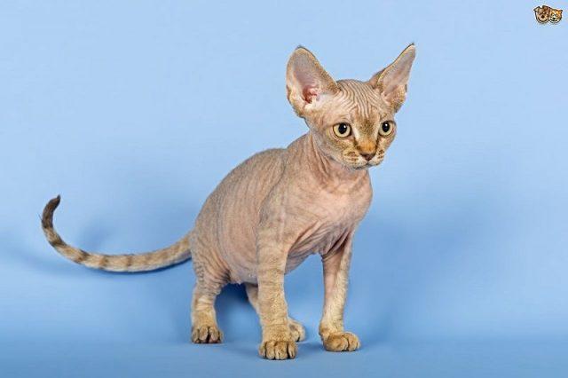 Gambar Jenis Jenis Kucing Dan Harganya Devon Rex