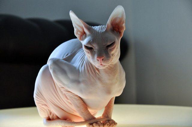Gambar Jenis Jenis Kucing Dan Harganya Don Sphynx