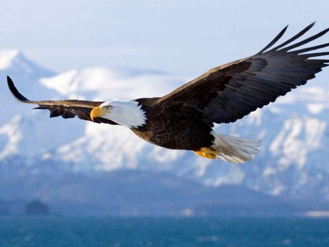 Gambar Nama Nama Hewan Dalam Bahasa Inggris Dan Gambarnya Eagle