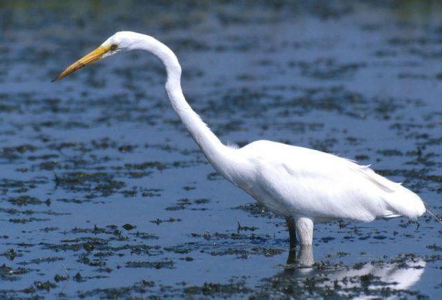 Gambar Nama Nama Hewan Dalam Bahasa Inggris Dan Gambarnya Egret