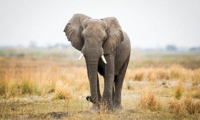 Gambar Nama Nama Hewan Dalam Bahasa Inggris Dan Gambarnya Elephant