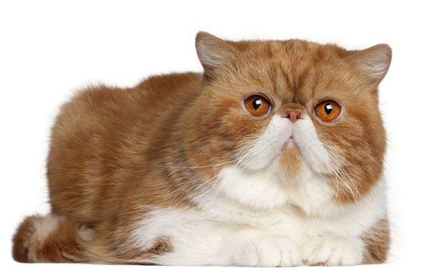 Gambar Jenis Jenis Kucing Dan Harganya Exotic Shorthair