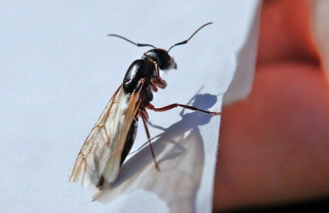 Gambar Nama Nama Hewan Dalam Bahasa Inggris Dan Gambarnya Flying ant