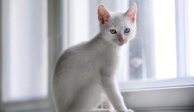 Gambar Jenis Jenis Kucing Dan Harganya Foreign White