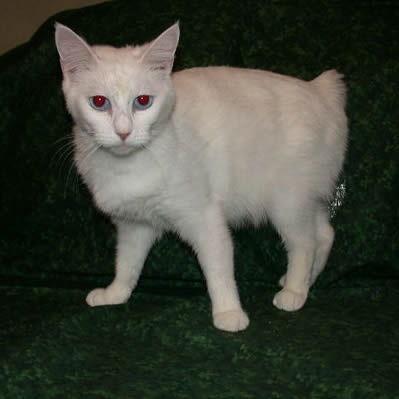 Seperti Apa Sih Kucing Alpine Lynx Atau Alpine Lynx Cat