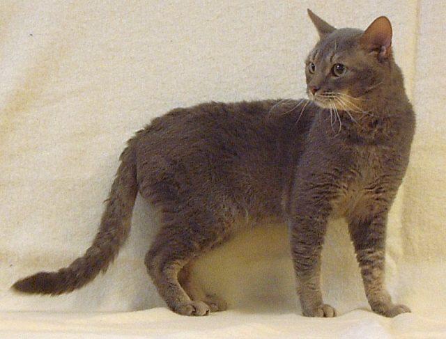Gambar Jenis Jenis Kucing Dan Harganya German Rex