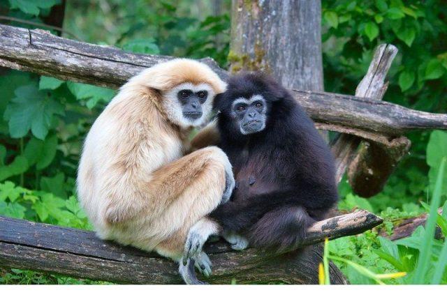 Gambar Nama Nama Hewan Dalam Bahasa Inggris Dan Gambarnya Gibbon