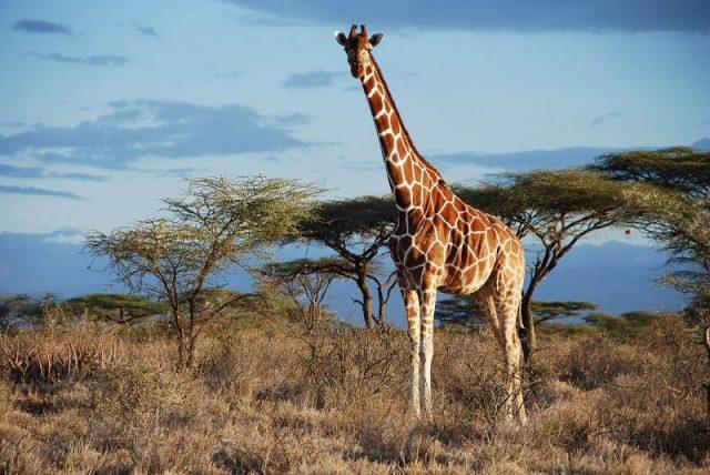 Gambar Nama Nama Hewan Dalam Bahasa Inggris Dan Gambarnya Giraffe