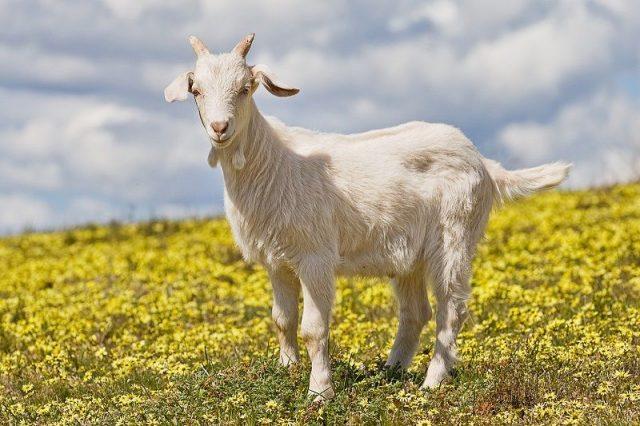 Gambar Nama Nama Hewan Dalam Bahasa Inggris Dan Gambarnya Goat