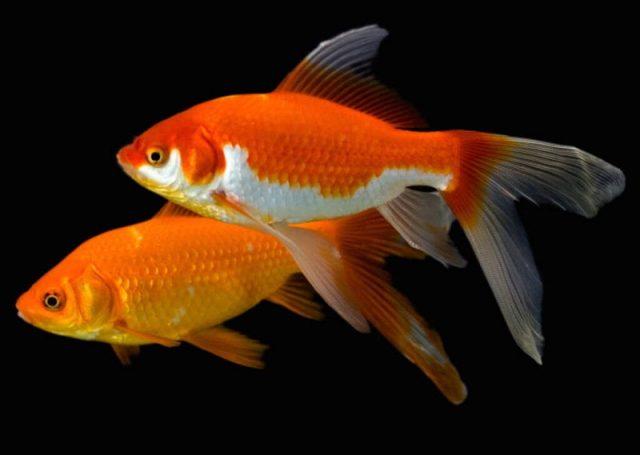 Gambar Nama Nama Hewan Dalam Bahasa Inggris Dan Gambarnya Goldfish