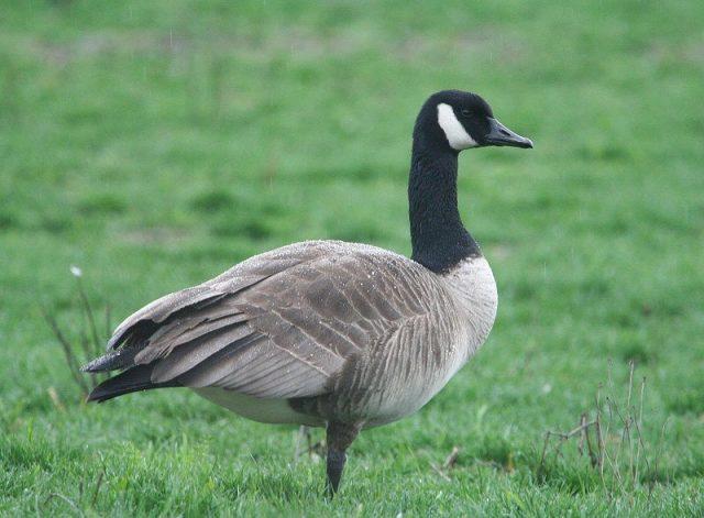Gambar Nama Nama Hewan Dalam Bahasa Inggris Dan Gambarnya Goose