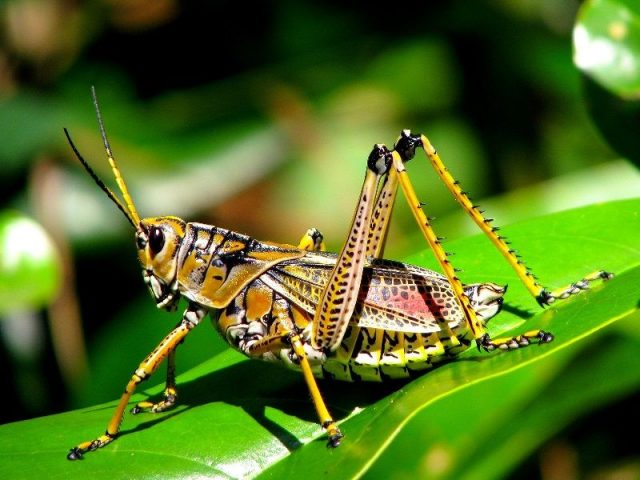 Gambar Nama Nama Hewan Dalam Bahasa Inggris Dan Gambarnya Grasshopper