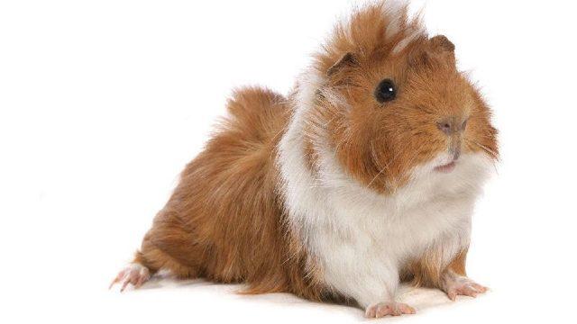 Gambar Nama Nama Hewan Dalam Bahasa Inggris Dan Gambarnya Guinea Pig