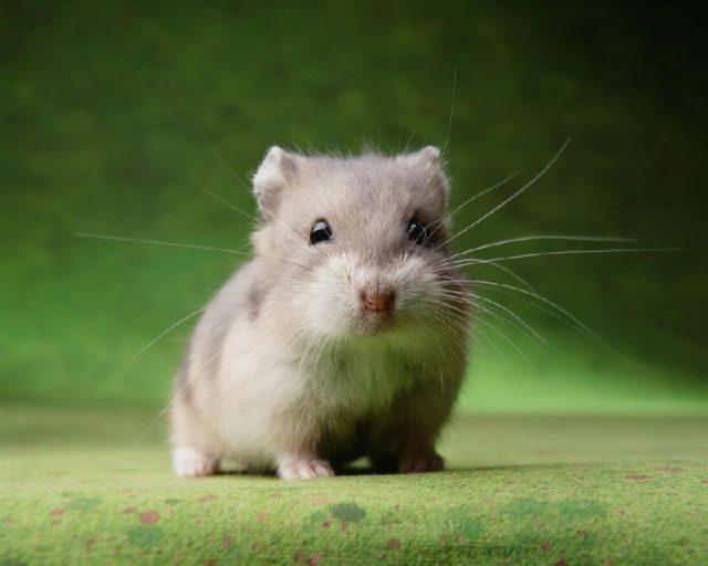 Gambar Nama Nama Hewan Dalam Bahasa Inggris Dan Gambarnya Hamster