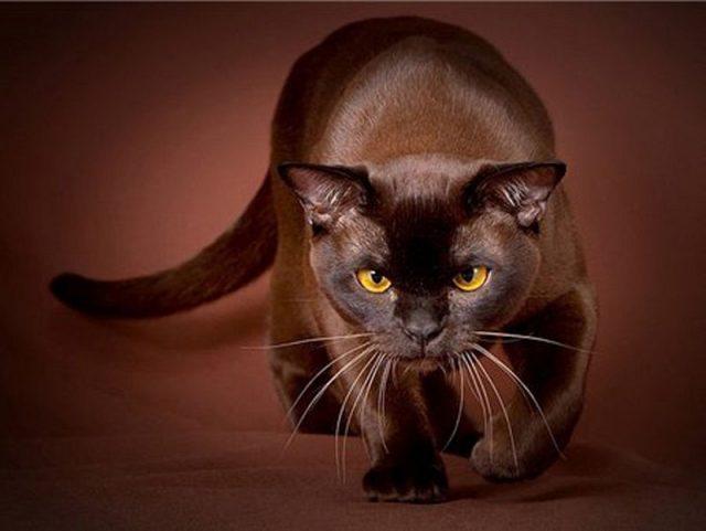 Gambar Jenis Jenis Kucing Dan Harganya Havana Brown cat