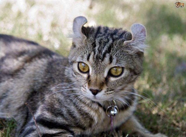 Gambar Jenis Jenis Kucing Dan Harganya Highlander cat