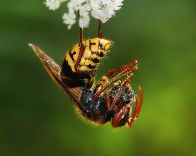 Gambar Nama Nama Hewan Dalam Bahasa Inggris Dan Gambarnya Hornet