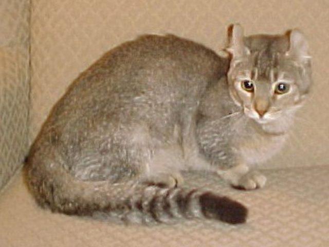 Gambar Jenis Jenis Kucing Dan Harganya Jaguarundi Curl
