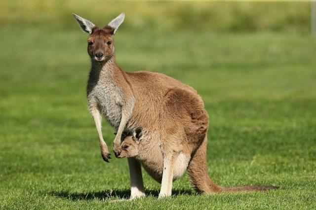 Gambar Nama Nama Hewan Dalam Bahasa Inggris Dan Gambarnya Kangaroo