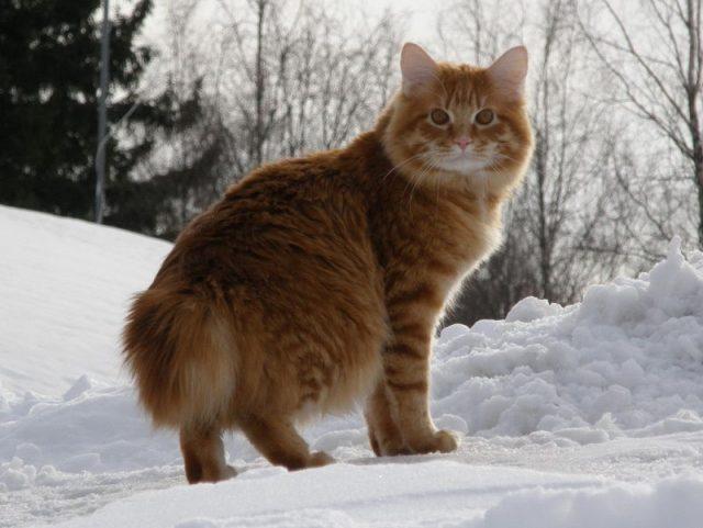 Gambar Jenis Jenis Kucing Dan Harganya Karelian Bobtail