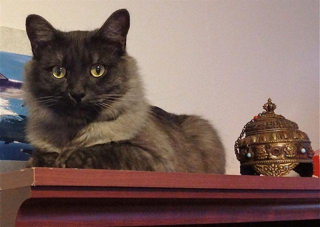 Gambar Jenis Jenis Kucing Dan Harganya Karelian Kashmir cat