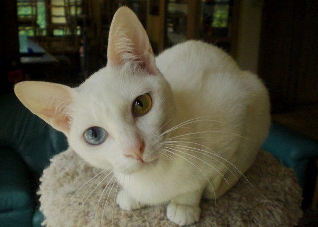 Gambar Jenis Jenis Kucing Dan Harganya Khao Manee