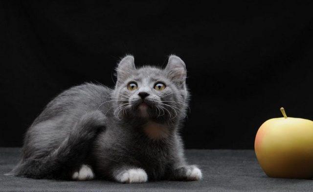 Gambar Jenis Jenis Kucing Dan Harganya Kinkalow