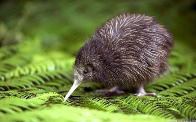 Gambar Nama Nama Hewan Dalam Bahasa Inggris Dan Gambarnya Kiwi