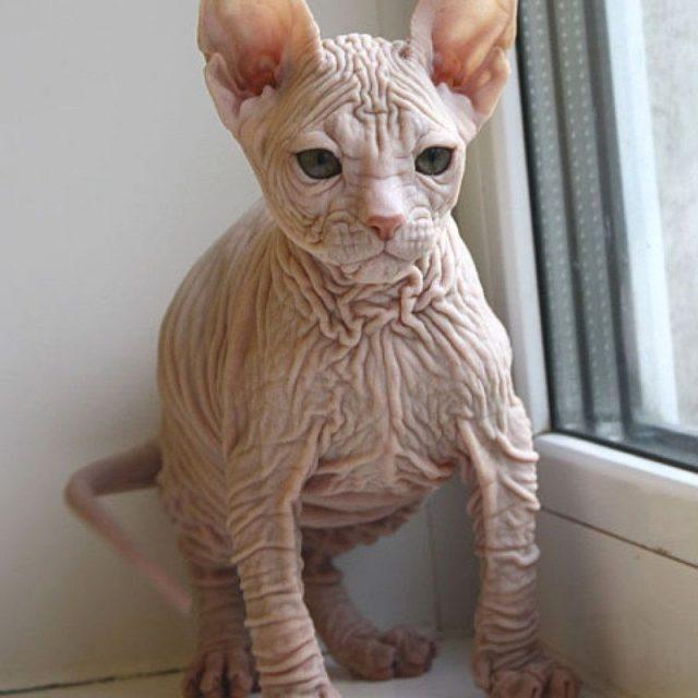 Gambar Jenis Jenis Kucing Dan Harganya Kohana cat
